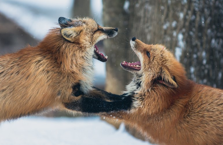 Angry Foxes